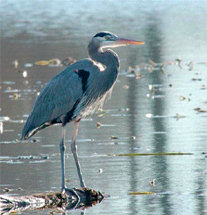 Pic, Waterside Heron 203